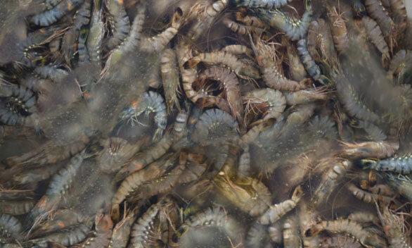 shrimps-better-cooling-img