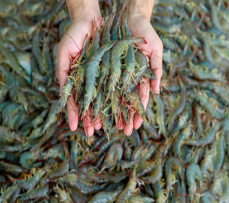 deepchilling-shrimp-img2